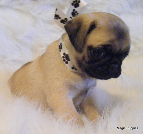 MAGIC PUPPIES - Pug Puppies